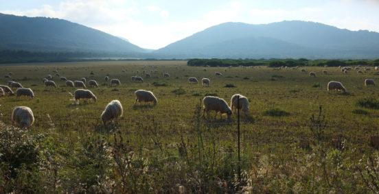 Lampaita laiduntamassa Sardiniassa